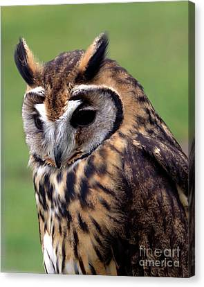 Eurasian Striped  Owl Canvas Print