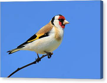 European Gold Finch Canvas Print by John Absher