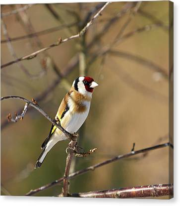 European Goldfinch 2 Canvas Print by Jouko Lehto