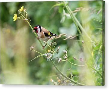 European Goldfinch Perched On Flower Stem B Canvas Print