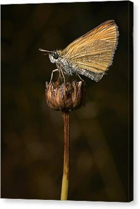 Canvas Print featuring the photograph European Skipper by Jouko Lehto