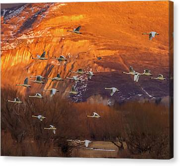 Evaning Flight - Tundra Swans Canvas Print by TL Mair