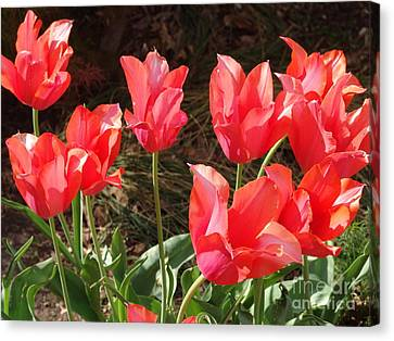 Even More Temple Beauty Tulips Canvas Print by Rod Ismay