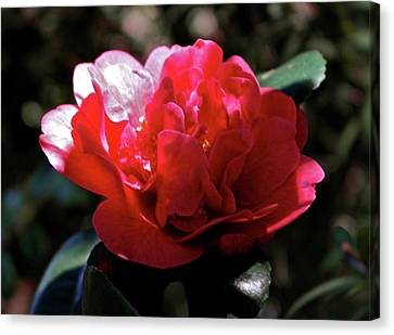 Canvas Print featuring the photograph Evening Camellia by Michele Myers