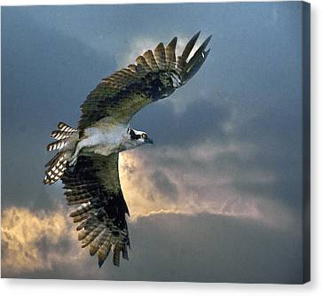 Evening Flight Canvas Print by Brian Tarr