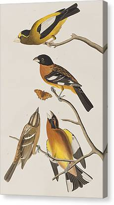 Evening Grosbeak Or Spotted Grosbeak Canvas Print