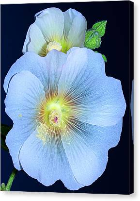 Evening Hollyhock Canvas Print by Tammy Schneider