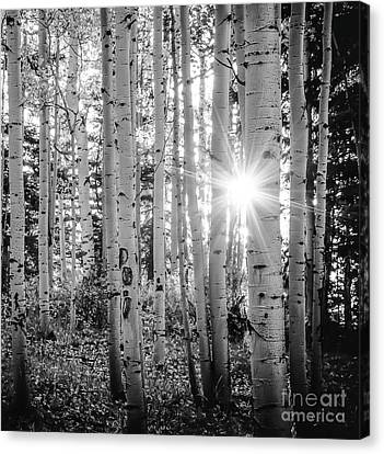 Canvas Print featuring the photograph Evening In An Aspen Woods Bw by The Forests Edge Photography - Diane Sandoval