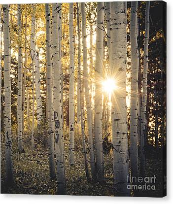 Evening In An Aspen Woods Canvas Print by The Forests Edge Photography - Diane Sandoval
