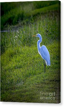 Evening Search Canvas Print