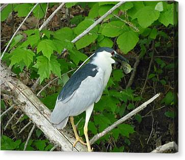 Evening Snack For A Night Heron Canvas Print by Donald C Morgan