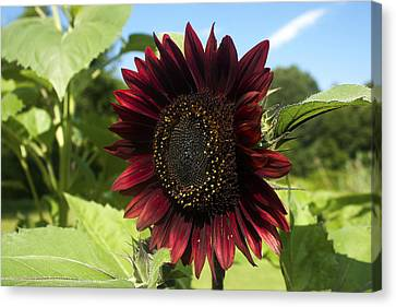 Evening Sun Sunflower #1 Canvas Print by Jeff Severson