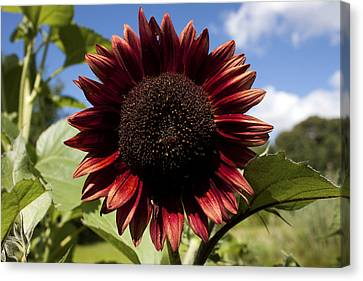 Evening Sun Sunflower #2 Canvas Print by Jeff Severson
