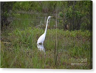 Ever Watchful Egret Canvas Print by Maria Urso