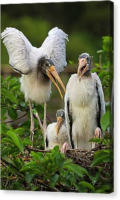 Everglade Stork Family Canvas Print by Juergen Roth