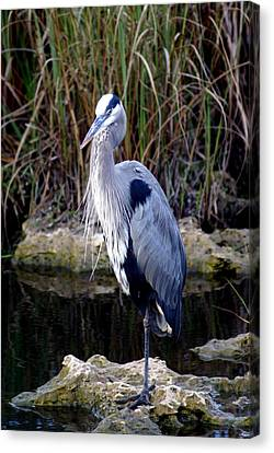Everglades Heron Canvas Print by Marty Koch