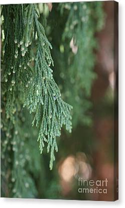 Evergreen Canvas Print by Linda Shafer