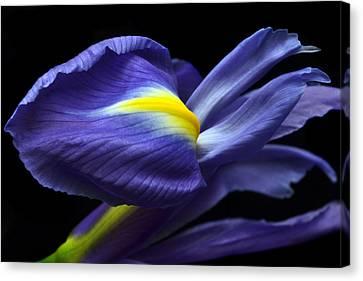 Evolving Iris. Canvas Print by Terence Davis