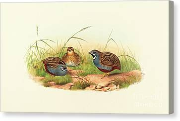 Excalftoria Minima, Blue Breasted Quail Canvas Print