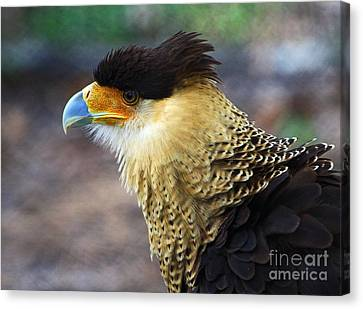 Excited Caracara Canvas Print