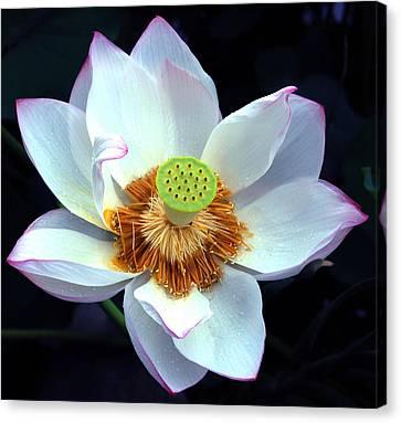 Exotic Lotus Canvas Print by Blima Efraim