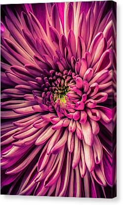 Exotic Spider Mum Canvas Print by Garry Gay