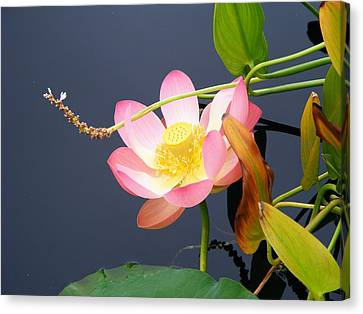 Canvas Print featuring the photograph Exotic Waterlily by Margie Avellino