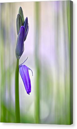 Expecting Bluebell Canvas Print by Dirk Ercken