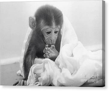Experimental Monkey Canvas Print
