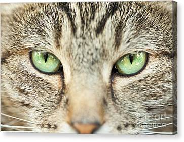 Extreme Close Up Tabby Cat Canvas Print by Sharon Dominick
