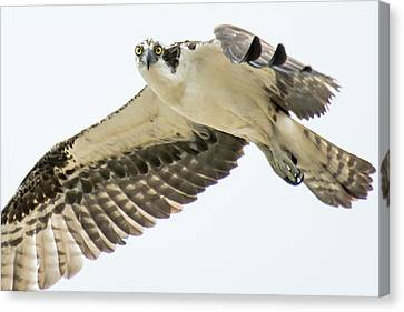 Eye-ball To Eye-ball With An Osprey Canvas Print