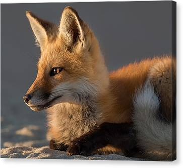 Eye Of The Fox Canvas Print by Bill Wakeley