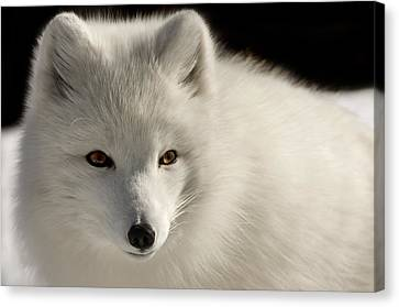 Eye Of The Fox Canvas Print