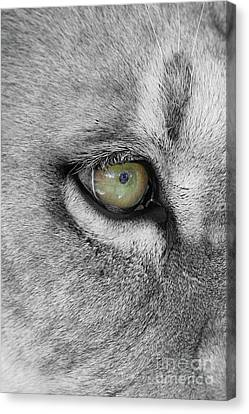 Lion Canvas Print - Eye Of The Lion  Black And White  T O C by Judy Whitton