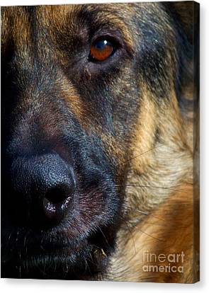 Eye Of The Shepherd Canvas Print by Jai Johnson
