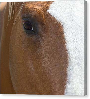 Eye On You Horse Canvas Print