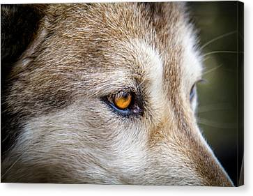 Canvas Print featuring the photograph Eyes Of The Gray Wolf by Teri Virbickis