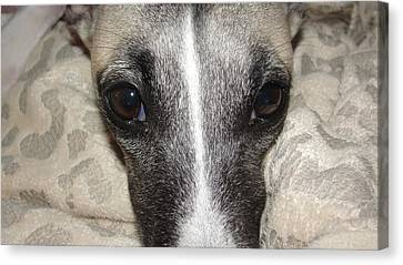 Eyes Whippet Canvas Print by Marie-france Quesnel