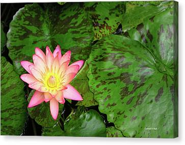 F6 Water Lily Canvas Print by Donald k Hall