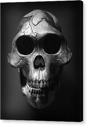 Face Of Our Ancestor - Australopithecus Afarensis Canvas Print by Daniel Hagerman