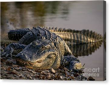 Face To Face With The Gator Canvas Print by Zina Stromberg