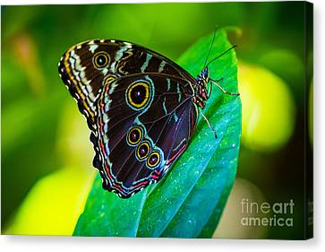 Fair Park Butterfly Canvas Print by Inge Johnsson