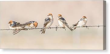 Fairy Martins Canvas Print