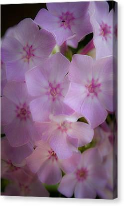 Phlox Canvas Print - Fairy Tale Phlox by Teresa Mucha