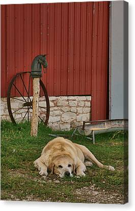 Faithful - Farm Dog Canvas Print by Nikolyn McDonald