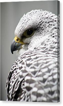 Falcon Canvas Print by Mindee Green