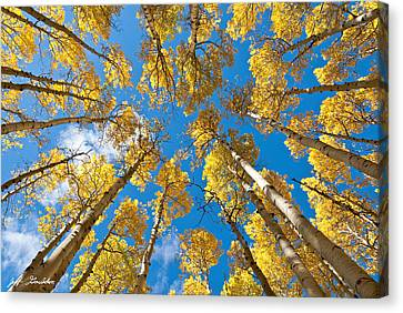 Fall Colored Aspens In The Inner Basin Canvas Print