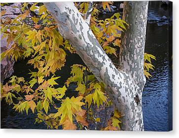 Fall Colors At Slide Rock Arizona- Tree Bark Canvas Print