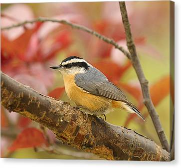 Fall Colors Nuthatch Canvas Print by Lara Ellis
