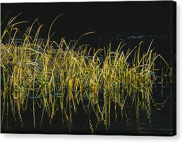 Fall Grasses - Snake River Canvas Print by Sandra Bronstein